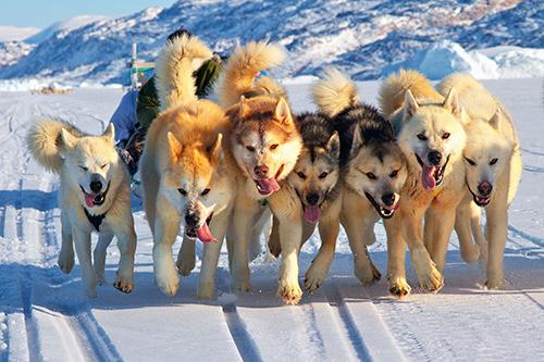 Гренландские ездовые собаки заменяют автомобиль. 2012